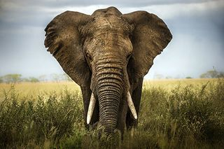 Elephant_ThinkstockPhotos-479667835
